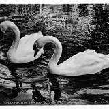 Краснодар. 299. Лебеди на озере парка им. М. Горького