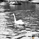 Краснодар. Лебеди на пруд городского парка им. А. М. Горького, середина 60-х