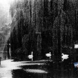 Краснодар. Лебеди в парке имени М.Горького. 1956 год.