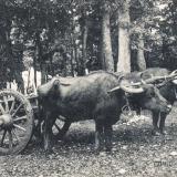 Сочи. Буйволы, до 1917 года