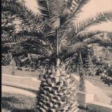 Сочи. Финиковая пальма у Худекова, до 1917 года
