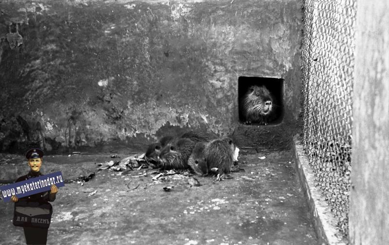 Краснодар. КСХПВ. Вольер с нутриями, 1956 год.