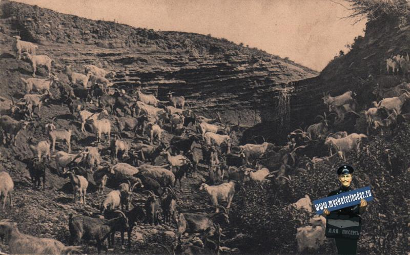 Майкоп. Городское стадо коз в полдень, до 1917 года